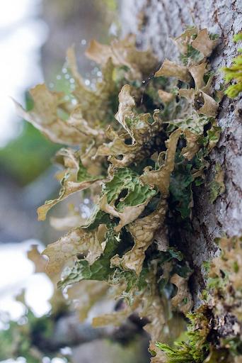 """Lungwort!"" by Ken-ichi is licensed under CC BY-NC 2.0  Lungwort, a foliose (leaf-like) lichen"