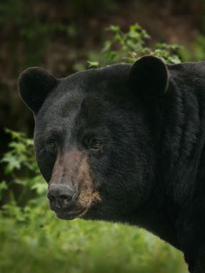 american-black-bear1jpg