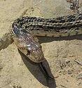 gopher snake.jpg