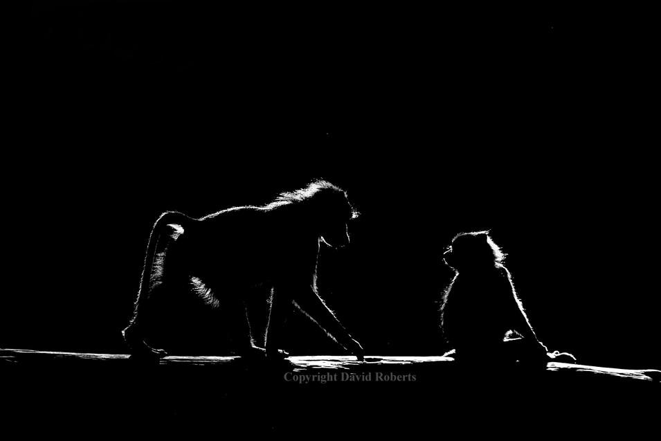Vervet monkey 2.JPG