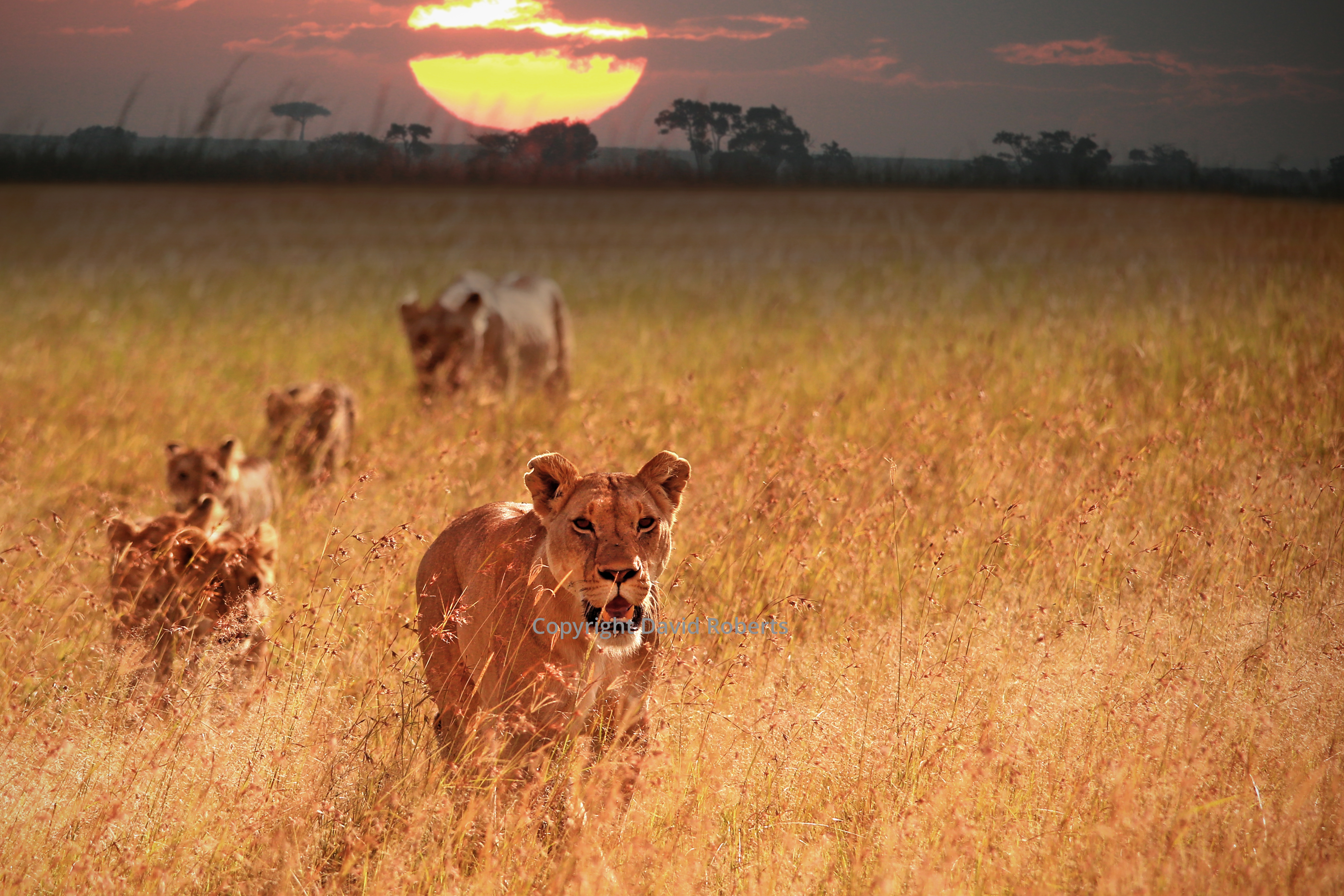 Lionesses at Dawn