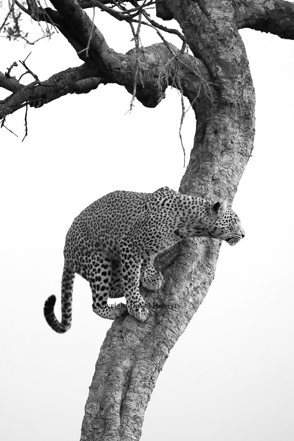 leopard B and W