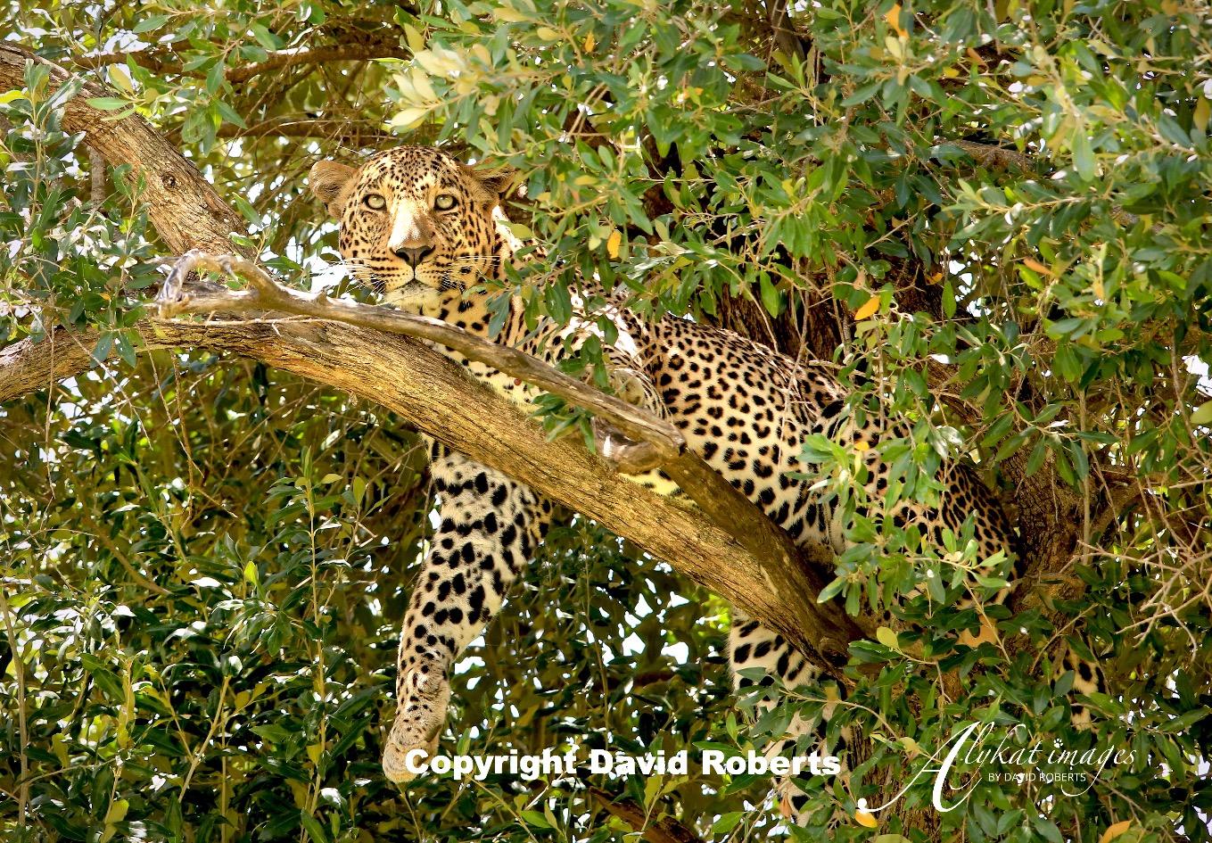 W- Leopard in tree