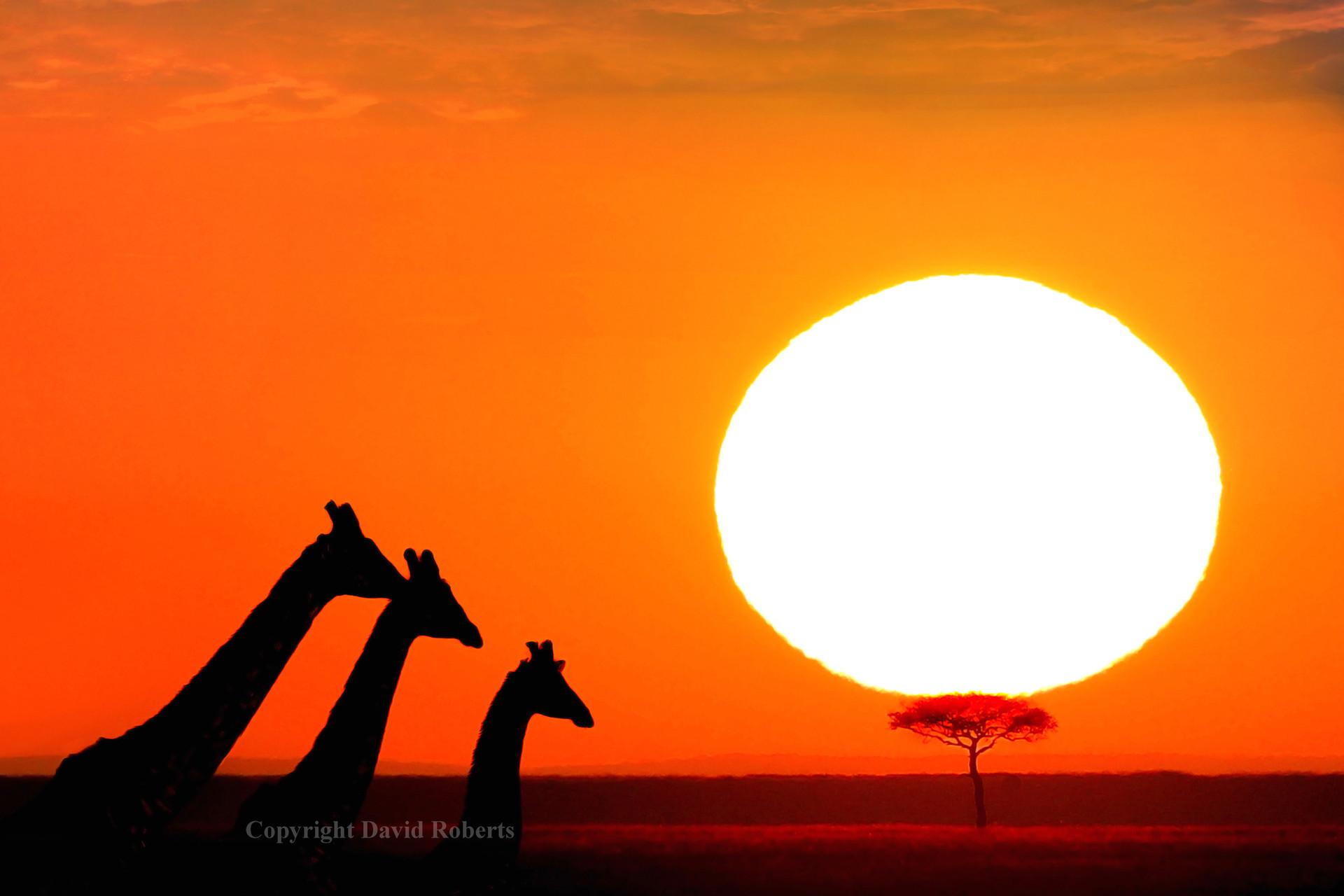 giraffe family sunrise.jpg