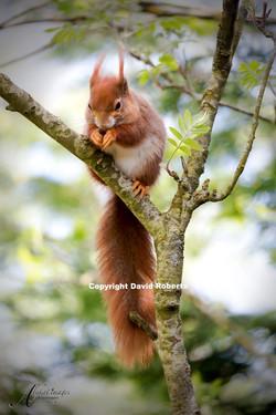 W- Red Squirrel 12x8_edited