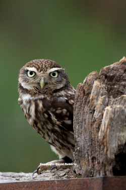 Little Owl ready to reprint_edited