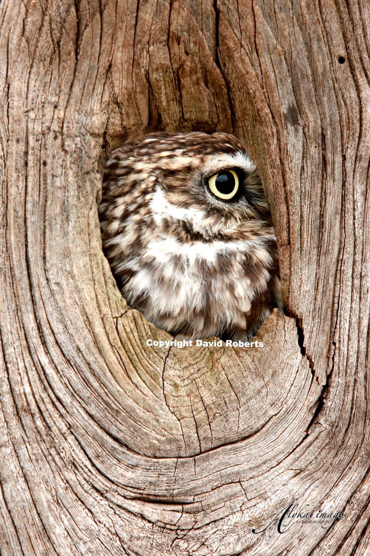W- Little owl