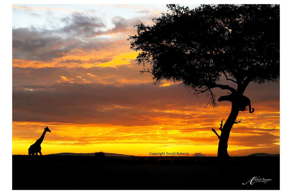 leopard giraffe sunrise .jpg