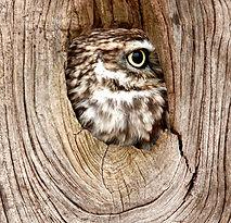 Little owl.jpg