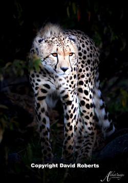 W- Cheetah