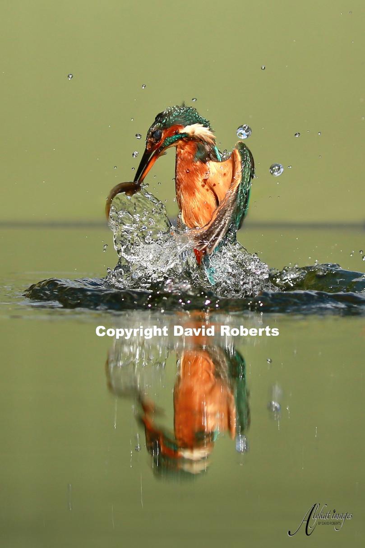 W-Kingfisher