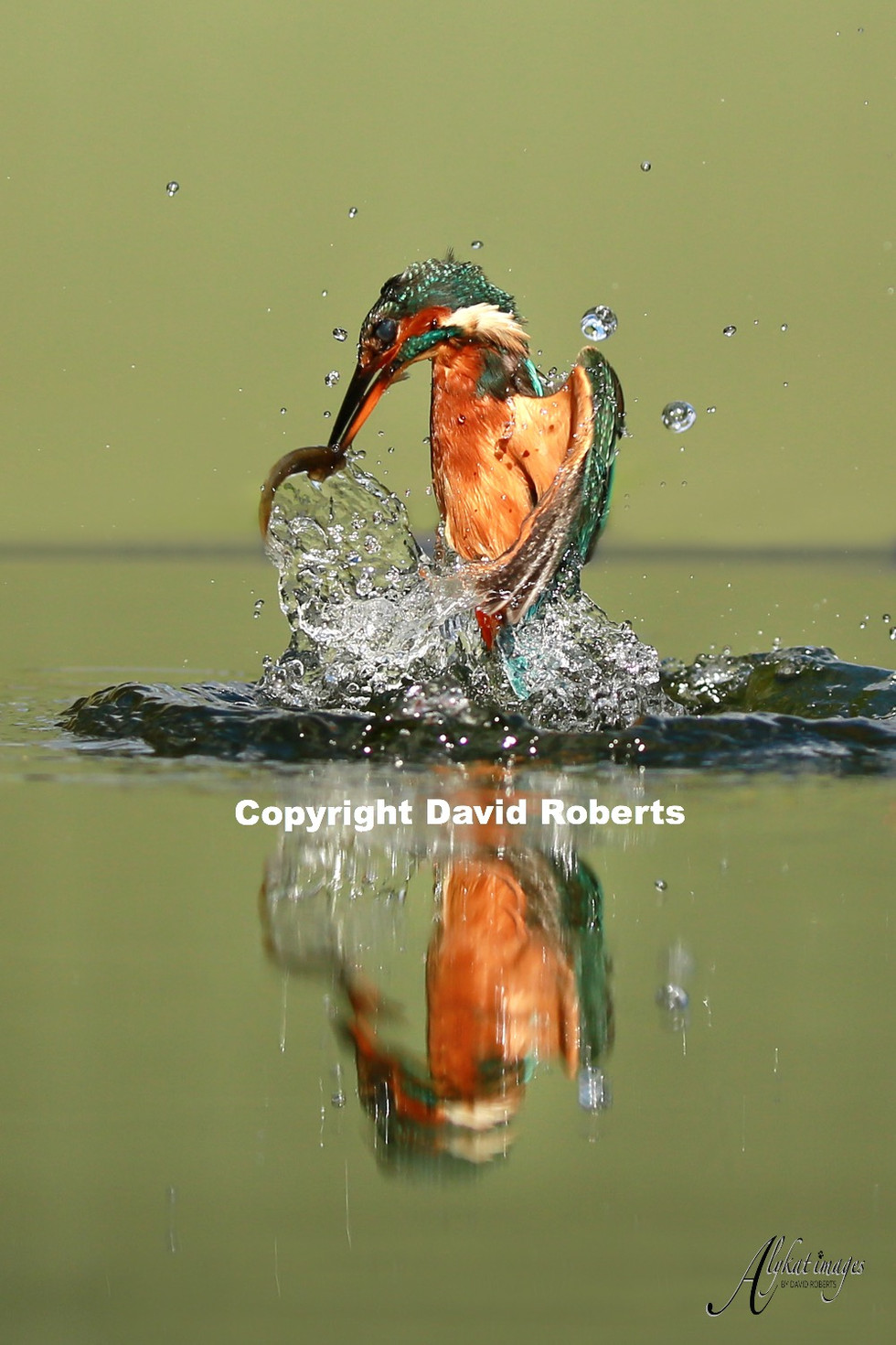 W-Kingfisher