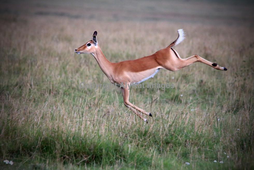 Impala 'empty kicking'