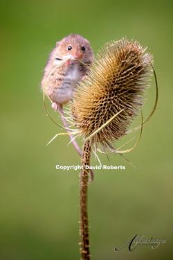 W- Harvest Mouse 1