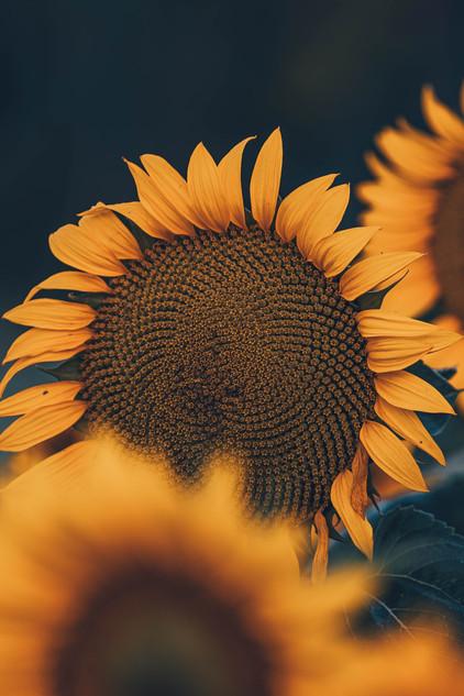 Solros / Sunflower