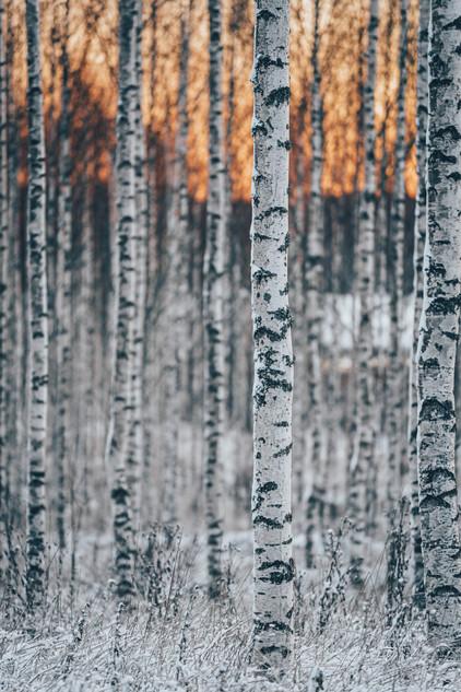 Björkar soluppgång / Birches sunrise
