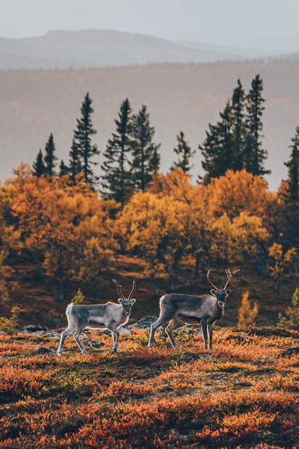 Renar / Reindeers