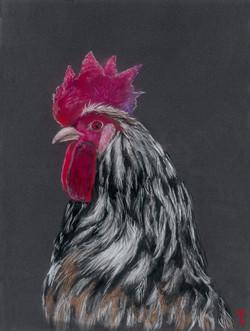 Cock a hoot