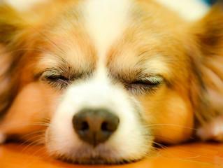ペットを売らないペットショップ。 殺処分待ちの犬を紹介するお店(岡山県 chouchou シュシュさん)
