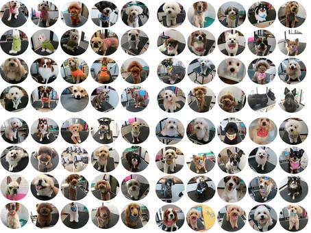 トリミングギャラリー450犬(けん)突破!