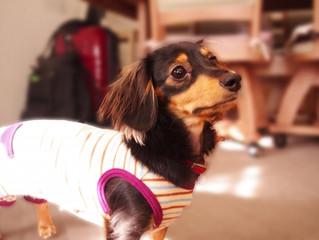 犬が身に着ける洋服や靴について、その理由と効果を考えてみましょう