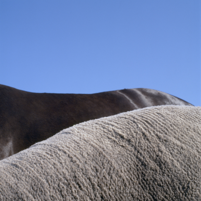 Sheep & Horse