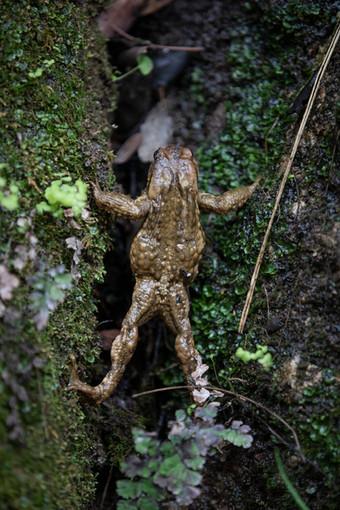 Sapo común, escalando en el parque natural de las Sierra de Cazorla, Segura y las Villas.