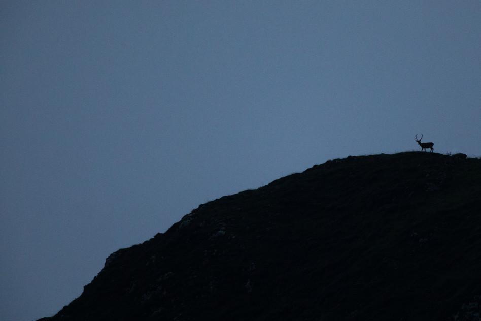 Ciervo al amanecer en Asturias