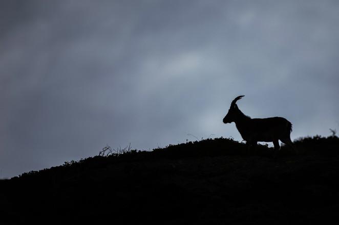 Macho cabra montés, Sierra Nevada