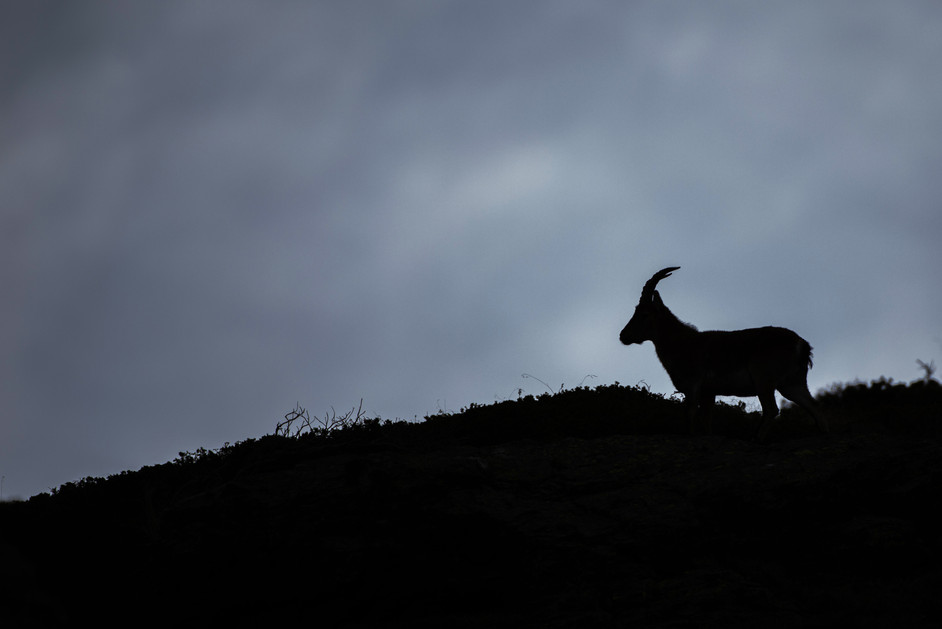 Un macho cabra montés en Sierra Nevada