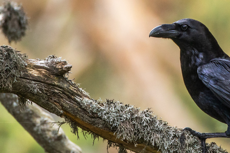Cuervo en la Sierra Guadarrama