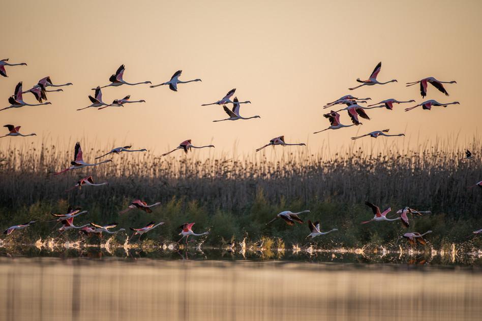 Flamencos volando al amanecer