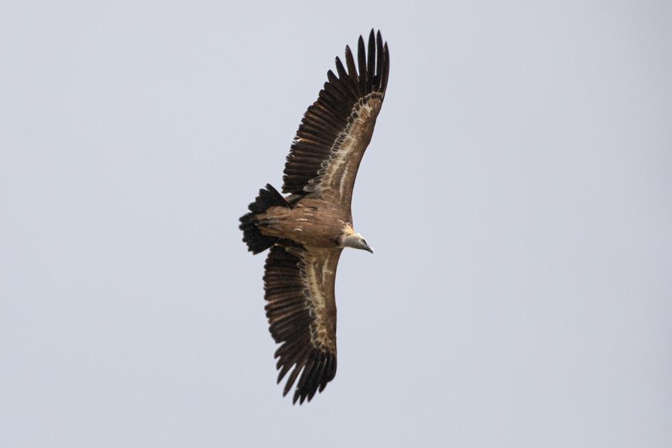 Buitre, Parque Nacional de la Sierra de Guadarrama