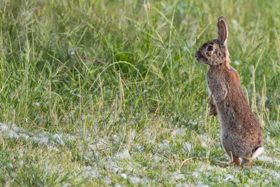 Conejo en pie