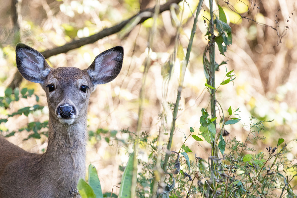 Ciervo, Shenandoah National Park EEUU