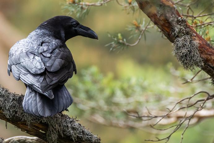 Un cuervo en la Sierra Guadarrama