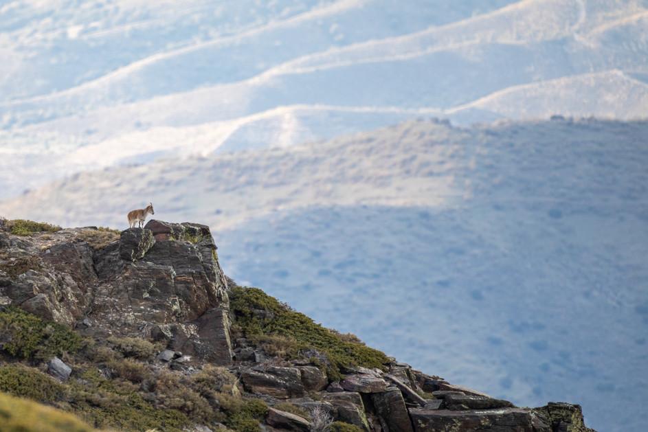 Una cabra en Sierra Nevada