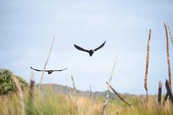 Baudins Black Cockatoo