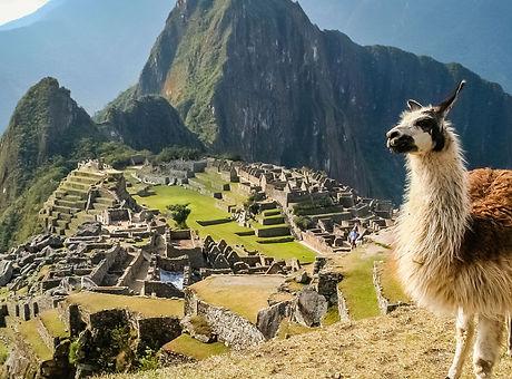 llama stands at the machu picchu unesco site in peru