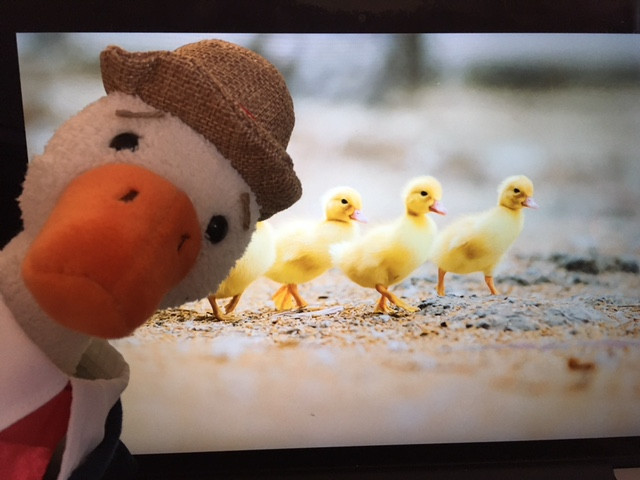 Duck, a stuffie, is posing in front of an image of four ducklings, walking in a row, which comes from farmandfleet.com.