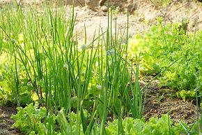 Organic farming Kampot Cambodia