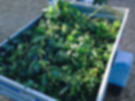 Hops for sale, hop rhizomes for sale, hop growing kits for sale