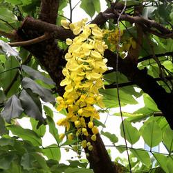 Acacia_ferruginea_blossom
