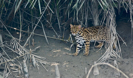"""Shan2797 (https://commons.wikimedia.org/wiki/File:Leopard_cat_India.jpg), """"Leopard cat India"""", https://creativecommons.org/licenses/by-sa/4.0/legalcode"""