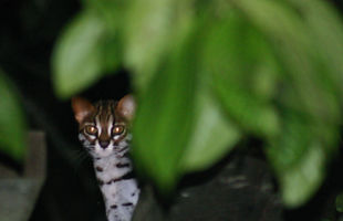 "chem7 (https://commons.wikimedia.org/wiki/File:Wild_cat,_Kinabatangan,_Borneo.jpg), ""Wild cat, Kinabatangan, Borneo"", Cropped and Zoomed by Ellie Huspen, https://creativecommons.org/licenses/by/2.0/legalcode"