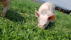 Freilandschweine auf dem Römerhof