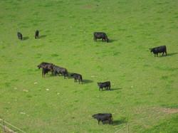 Bio Rindfleisch im Seeland
