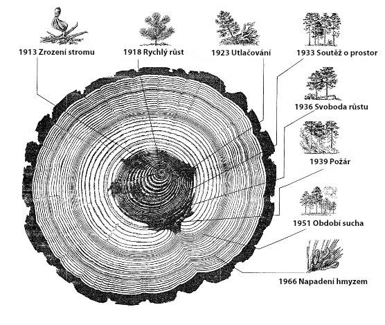 Jak vznikají letokruhy? Upraveno dle climatepedia.org