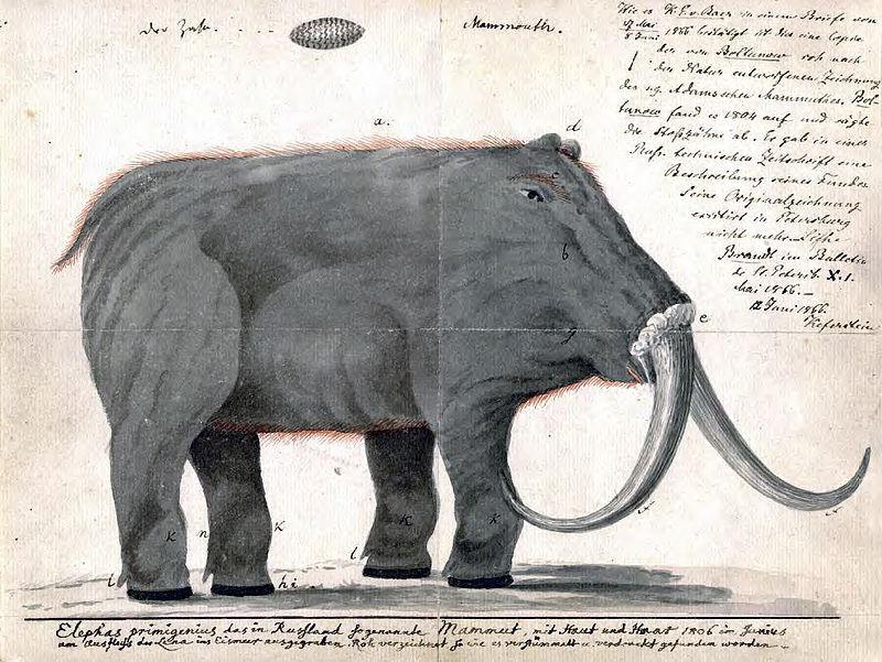 Jedna z prvních rekonstrukcí vzhledu mamuta, Roman Boltunov, 1804