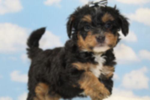 Aussiedoodle Puppy Tri